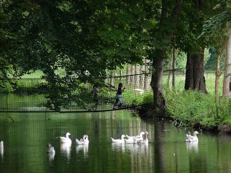 Oies_sur_un_bras_canal_du_Laizon
