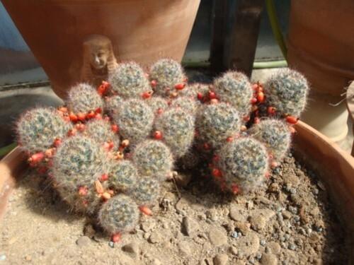 Jardin botanique de Palerme (les cactus)4
