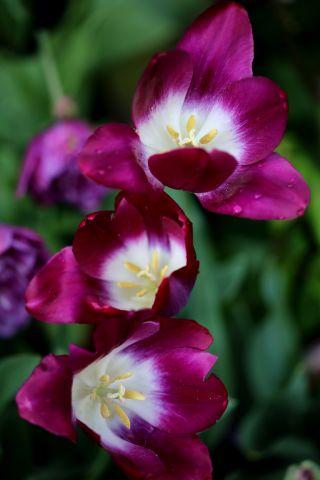 Tulipes 2020 : Pittsburg
