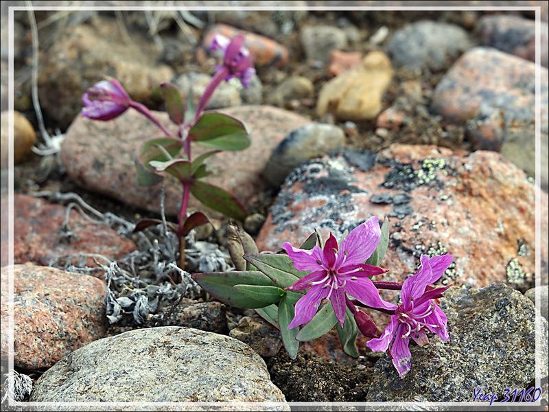 Un peu de botanique, mais sans trop s'éloigner dans la toundra : un touriste averti et vivant en vaut deux ! - Grise Fiord (ᐊᐅᔪᐃᑦᑐᖅ ou Aujuittuq) - Ellesmere Island - Nunavut - Canada
