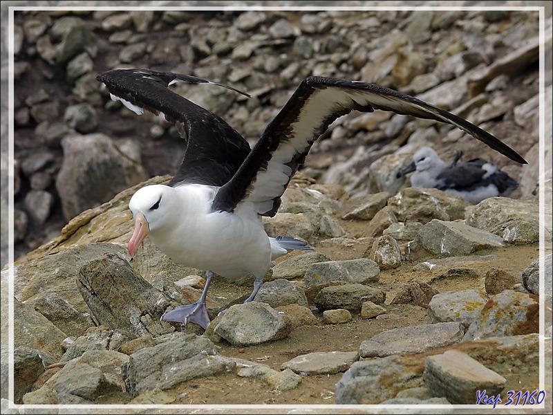 L'envol de l'Albatros à sourcils noirs, Black-browed Albatross (Thalassarche melanophris) - Coffin's Harbour - New Island - Falkland (Malvinas, Malouines) - Grande-Bretagne