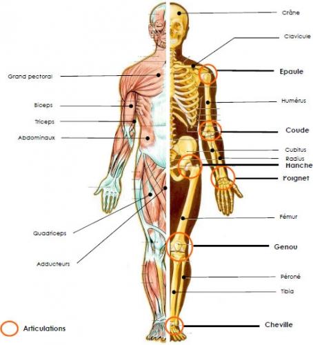 les chiffres fous du corps humain