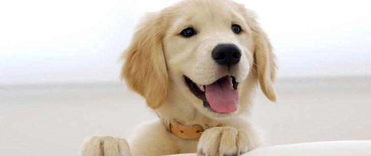 Les chiens sont capables de comprendre 250 mots et gestes!
