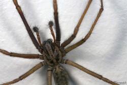 Araignée Pholcus phalangioïdes.