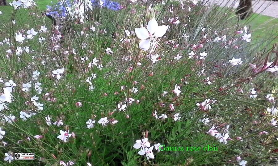 des agapanthes bleues et blanches,des Gauras,un mélange de plantes vivaces,un géraniums sanguineum,des plantes qui gèlent pas et qui reste en place pendant de nombreuses années