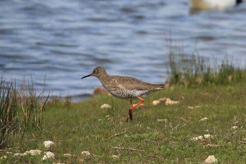 Chevalier Gambette (Common Redshank)