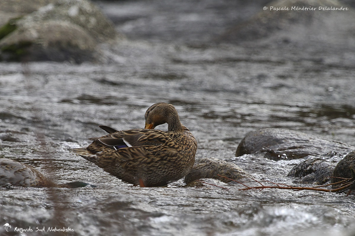 Canards colvert des eaux vives