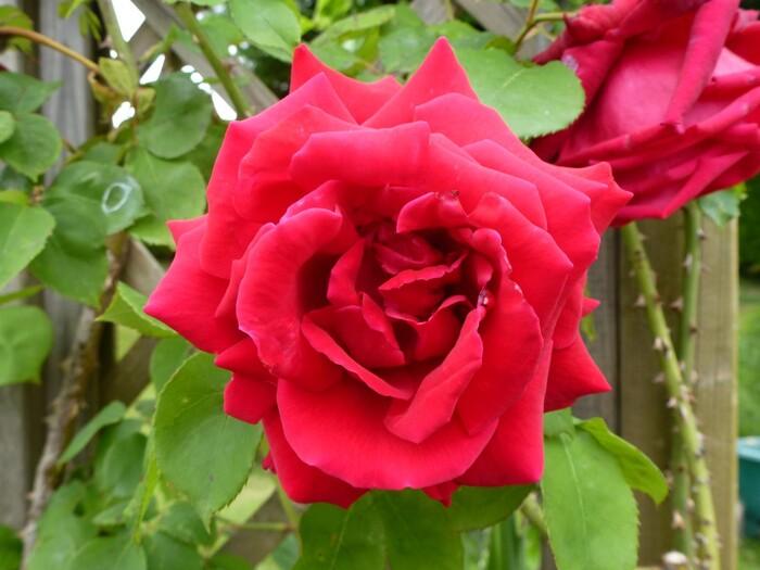 Premières roses de mon jardin