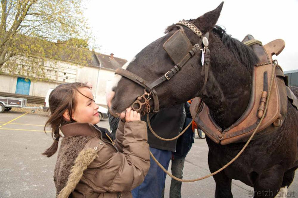 Le cheval breton guidé par la voix voix de son maître - Les caresses méritées
