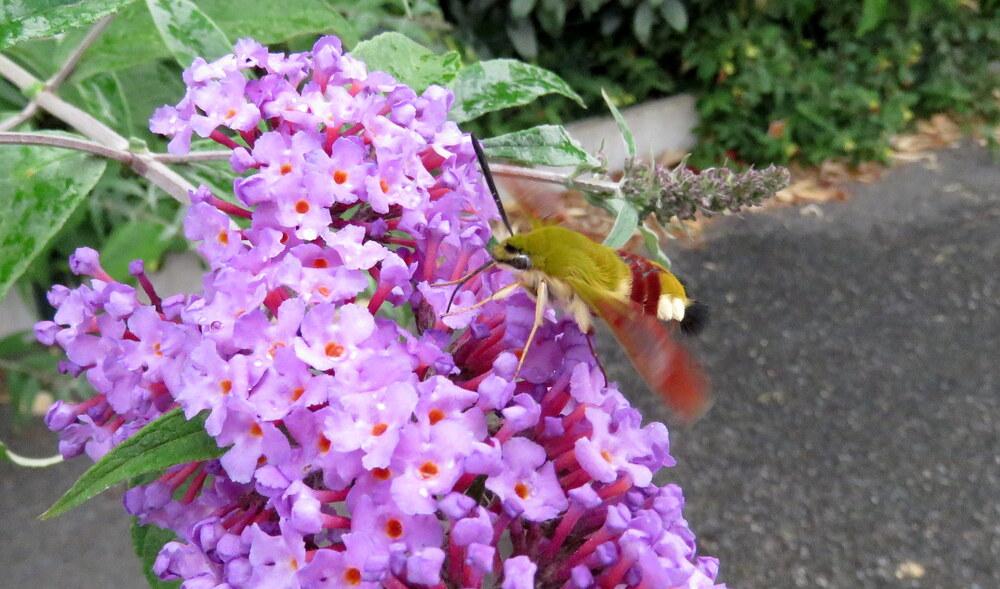 un moro sphinx colibri