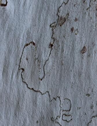 St Saturnin de Lenne: les arbres se déshabillent