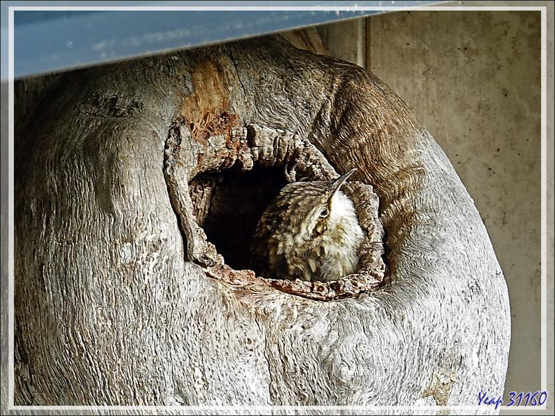 Suite et fin de la saga des Grimpereaux des jardins, Short-toed Treecreepe (Certhia brachydactyla) - Lartigau - Milhas - 31