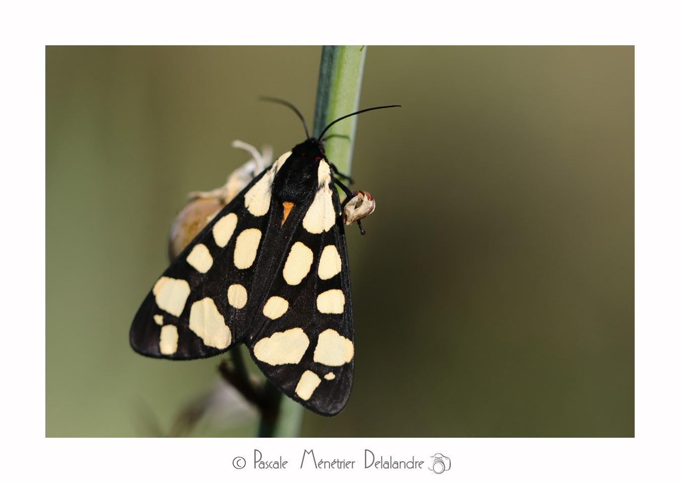 Écaille fermière ou Écaille villageoise (Epicallia villica)