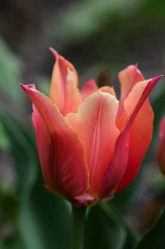 Tulipes Marianne7