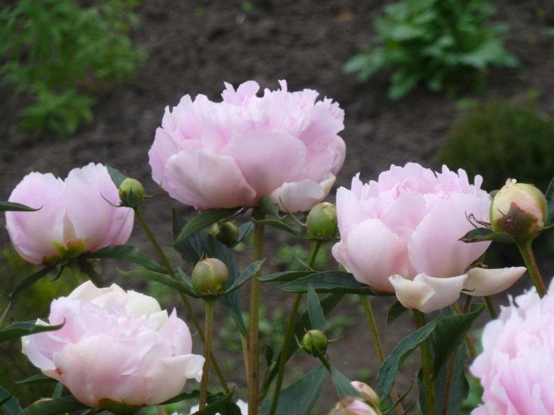 Pléiade fleurie de Mai ...