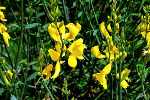 Des fleurs jaunes : le genêt d'Espagne