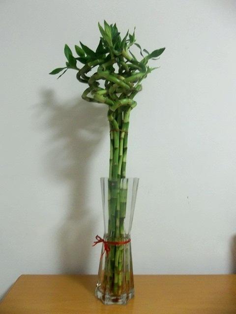 Bambou madeinchina - Lucky bambou acheter ...