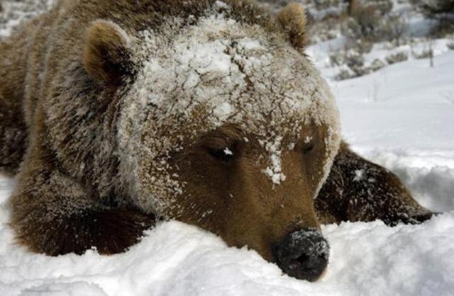 Ours brun après un bon repas