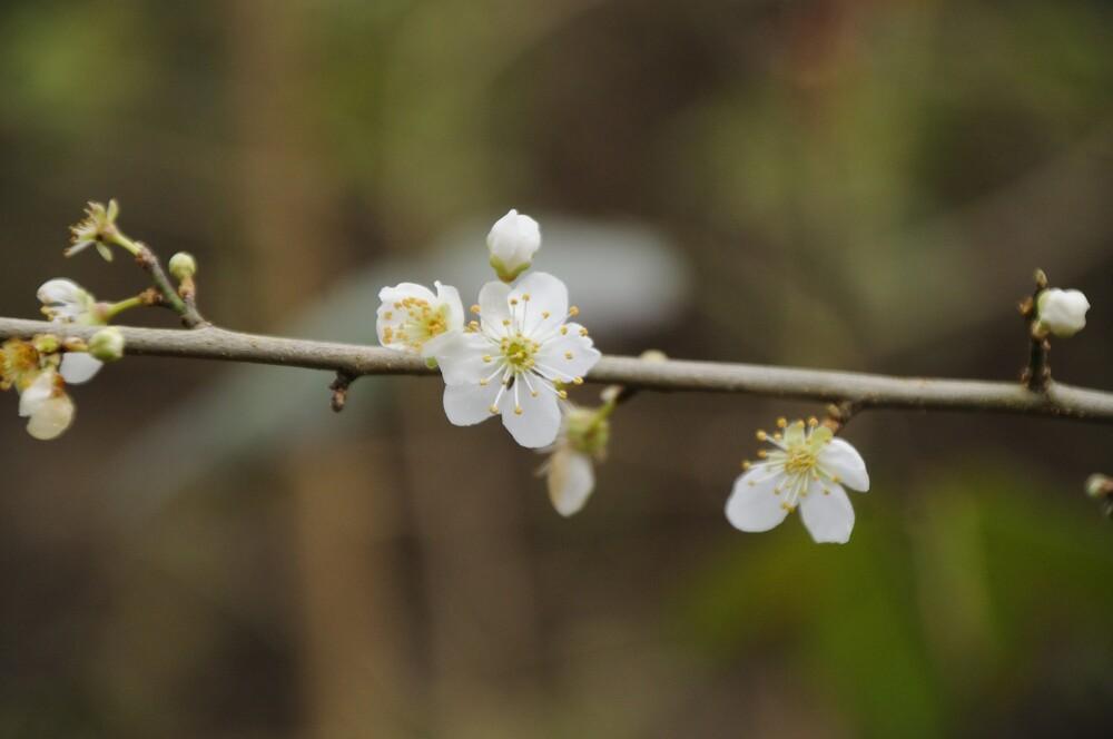 Le prunier est en fleur