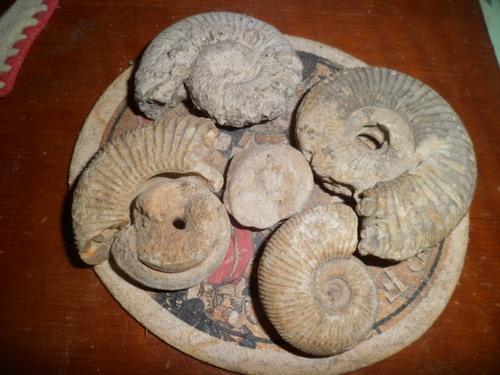Bivalve,mollusque lamellibranche pouvant dater du Toarcien160millions/années
