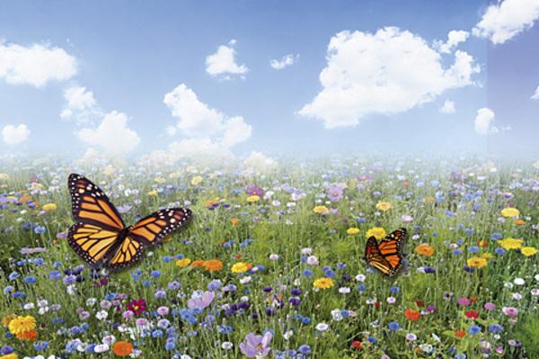 Que sont devenus les papillons de notre enfance ?