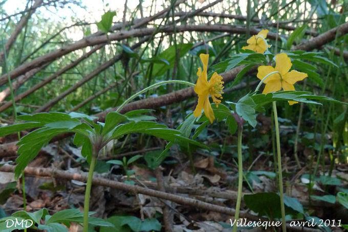 Anemone ranunculoides - anémone fausse renoncule