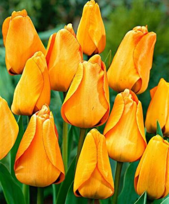 Plantation des tulipes,Octobre -Novembre,voici une variètè que j'ai choisi pour 2014