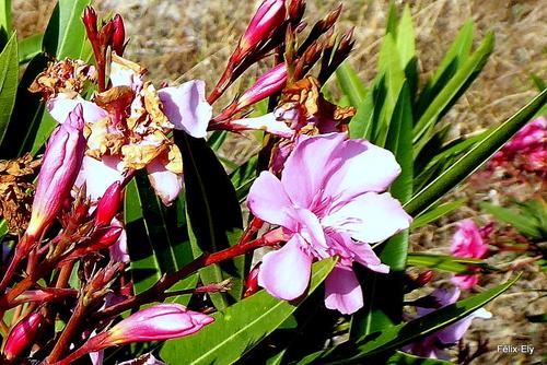 Les fleurs du laurier rose