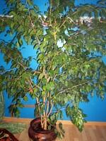 Allergie au Ficus Benjamina