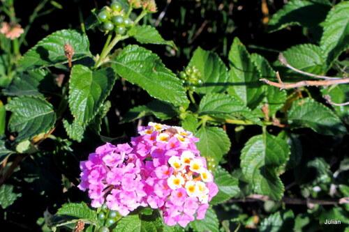 Le lantana en fleur