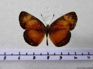 Ortilia liriope