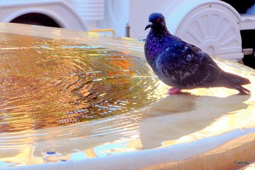 Les pigeons albigeois!