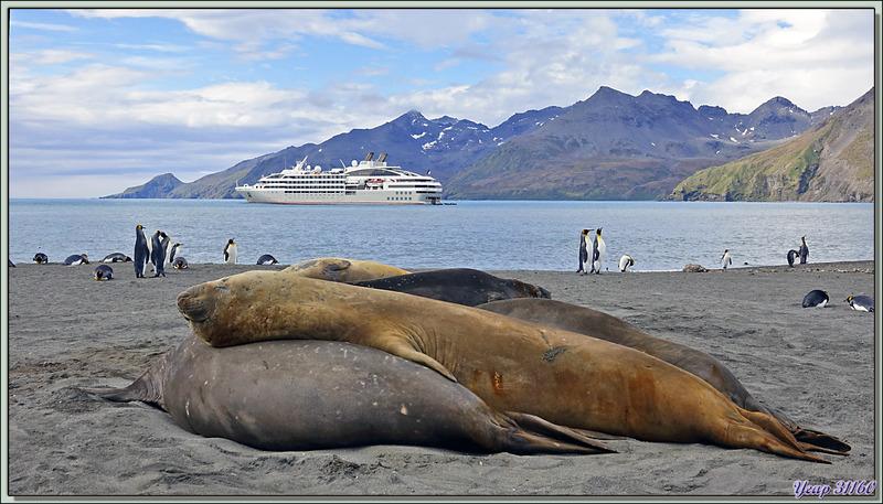 Éléphant de mer du sud (Mirounga leonina) et le Lyrial - Saint Andrews Bay - Géorgie du Sud
