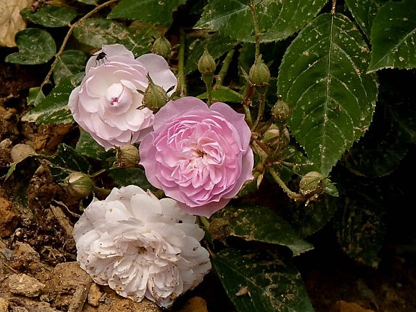 Rose-rose 3