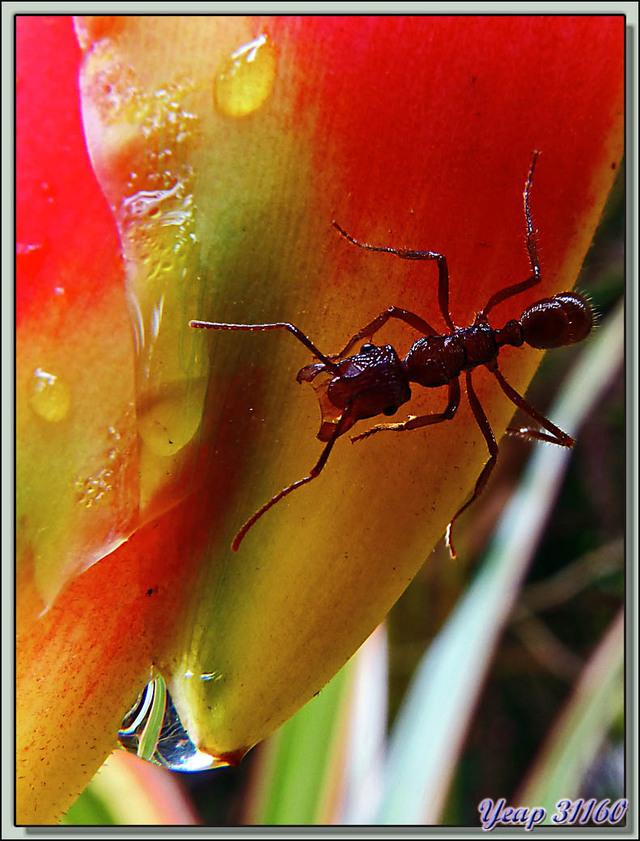 Blog de images-du-pays-des-ours : Images du Pays des Ours (et d'ailleurs ...), Héliconia rostré, ses larmes et sa fourmi - Costa Rica