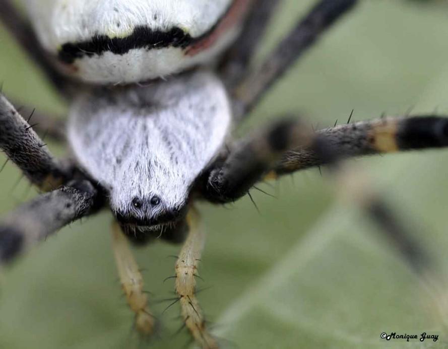 DSC6301-araignée-argiope-f