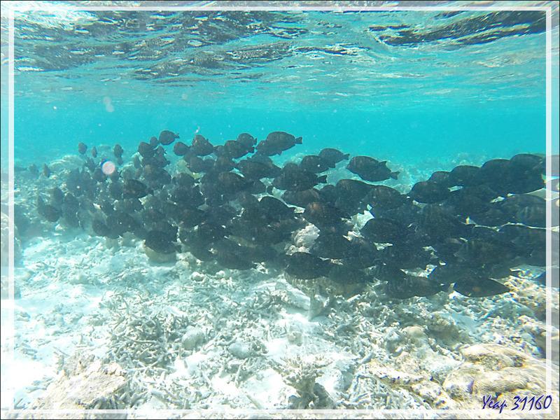 Banc de Chirurgiens voiliers (Zebrasoma desjardinii) et de Chirurgiens à queue barrée (ou peut-être noirs à queue blanche) - Moofushi - Atoll d'Ari - Maldives