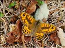 Le Satyre mâle Lasommmiata megera Nymphalidae