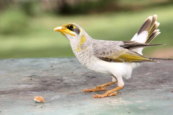 animaux oiseau Mount Isa 001 l