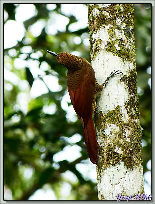 Pic inconnu - Puerto Viejo de Sarapiqui - Costa Rica