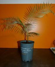 Lytocaryum weeddelliamum n°2