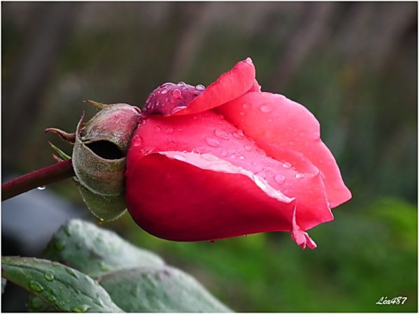 DSCF5285-rose-pluie.jpg