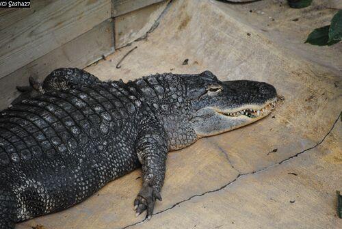 Alligator du Mississippi.