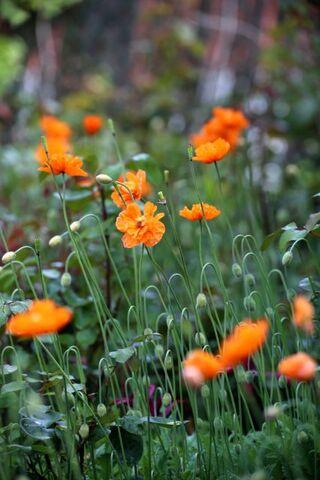 Les tulipes du jardin médiéval (2/2)