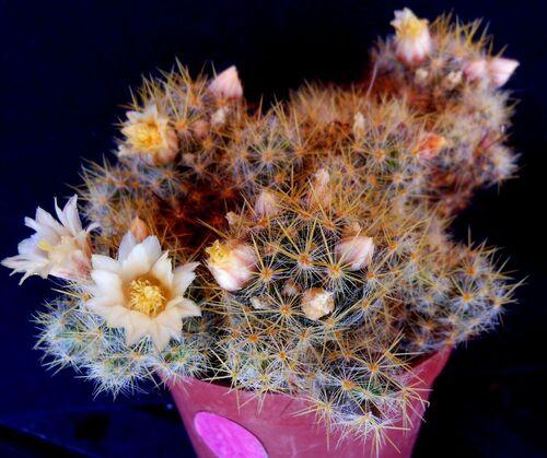 Floraison des cactées de début mai