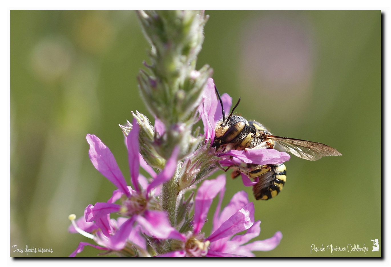 Anthidium (Megachilidae)
