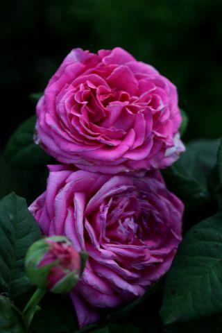 Les Roses de Warren : Cento Qaranta