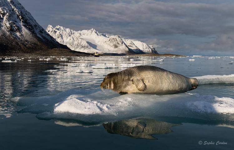 Le phoque de Magdalenafjorden