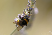 Bourdon domestique - Bombus terrestris