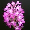 Orchis  pyramidal.JPG